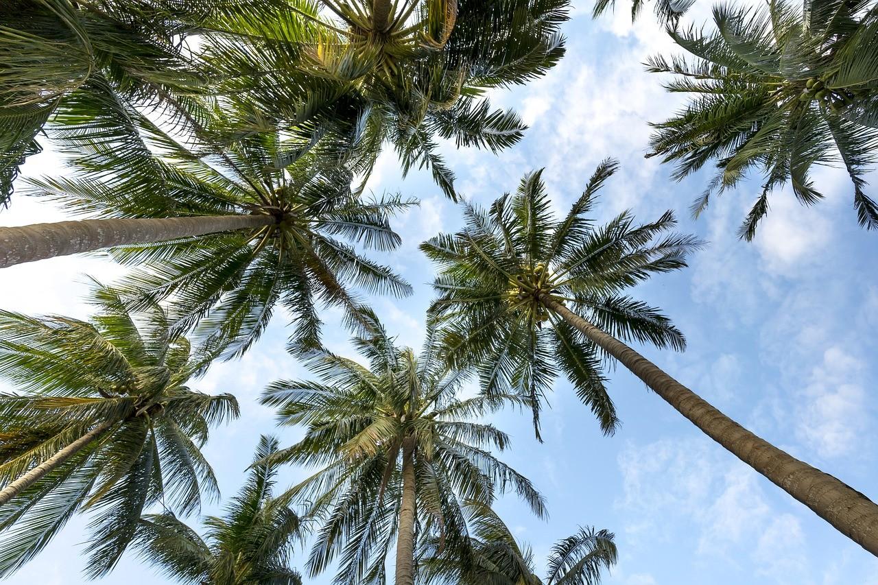 ハワイ ヤシの木 自然 風景